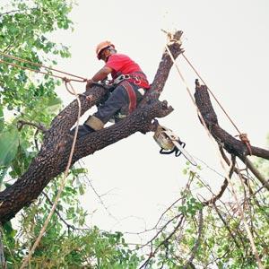 arborist auckland, tree removals auckland, tree climber auckland, tree work auckland