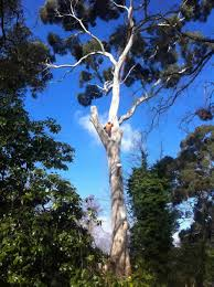 gum tree removals