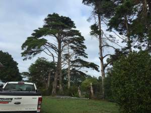 Auckland tree removals greenhite, big tree removals greenhite, tree works north shore auckland