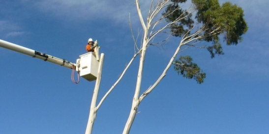 gum tree cutting, gum tree removals, gum tree stump grinding, tree removals auckland
