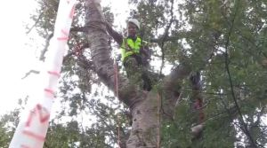 Kauri Tree Protest in Titirangi, kauri tree removal, kauri tree trimming, kauri tree protection