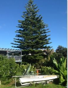 pine tree removals auckland
