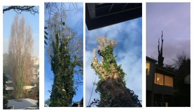 Auckland Tree Removals tree work progress