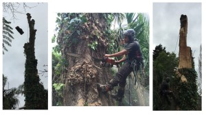poplar removal auckland
