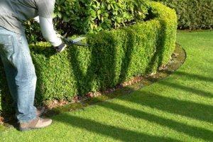 hedge cutting, hedge mantenance, hedge cutting auckland, hedge trimming auckland, hedgeman auckland