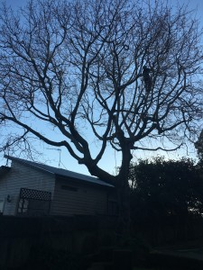 tree removals remurea, oak tree reduction