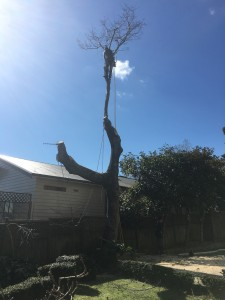oak tree removals auckland, big tree removal, tree reduction