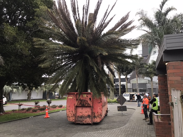 palm tree removals, phoenix palm removals auckland