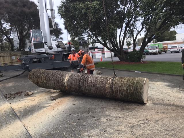 phoenix palm removals auckland alexandra park